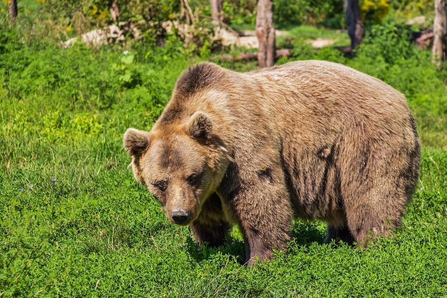 Bär_pixabay_bear-422682_1920 900x600